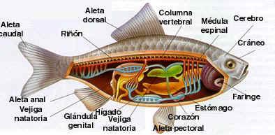 estructura  PECES.png