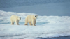 osos-polares.png