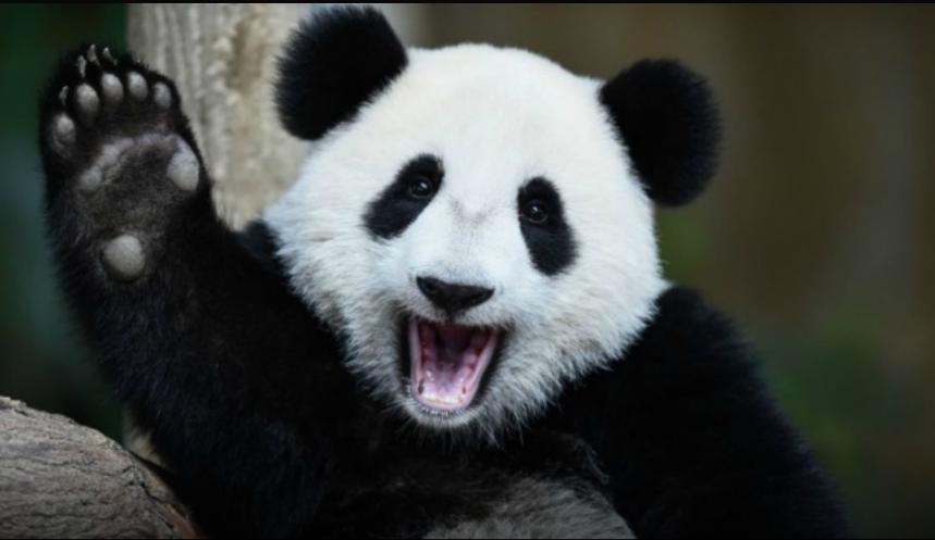 Oso panda.png