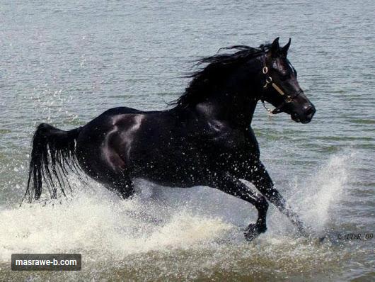 caballo arabe.png
