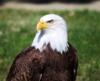Aguila americana.png