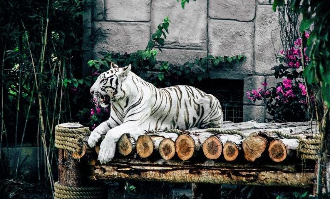 Tigre blanco Características, hábitat, alimentación, reproducción Animal.png