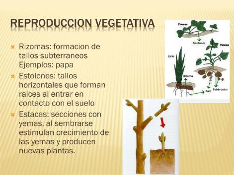 diccionario  reproducción vegetativa  portalpez