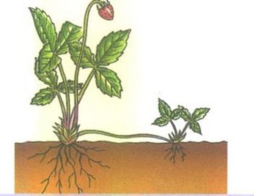 Convicto albino reproduccion asexual de las plantas