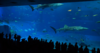 Churaumi_Aquarium_main_tank_'Kuroshio_Sea' jpg.png