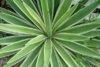 agave_angustifolia_marginata23.jpg